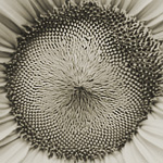 detail of sunflower head